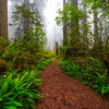 The Trails And Fog Of Redwoods _ Redwoods, California