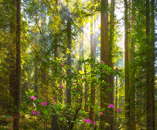 Warm Lit Trees And Rhodies - Redwoods, California