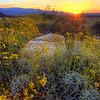 California Wildflowers_95