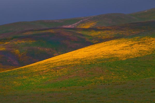 California Wildflowers_27