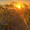 California Wildflowers_21