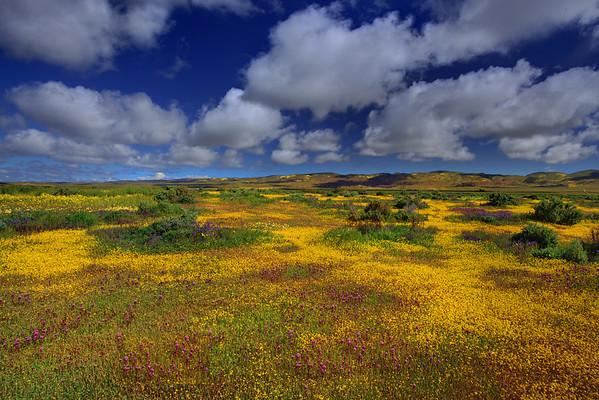 California Wildflowers_1