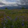 California Wildflowers_49