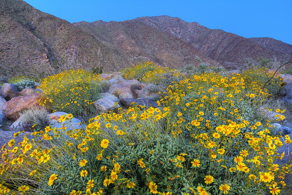 California Wildflowers_7