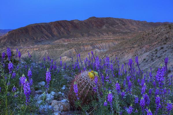California Wildflowers_13