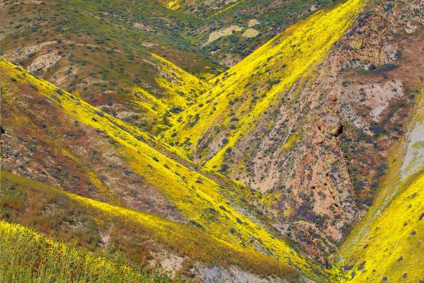 California Wildflowers_9