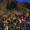 California Wildflowers_6