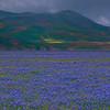 California Wildflowers_48