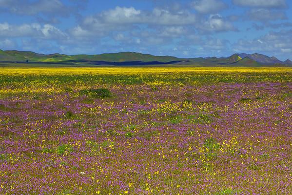California Wildflowers_70