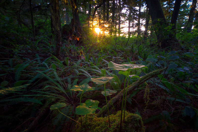 A Breakthrough Of Last Moment Light On Forest Floor Pacific Rim National Park Reserve, Vancouver Island, BC,  Canada