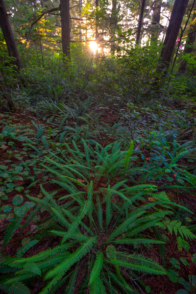 Ferns On Forest Floor As Sun Peaks Through Pacific Rim National Park Reserve, Vancouver Island, BC,  Canada