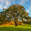 The Iconic Garry Oak Tree In First Light - - Uplands Park, Oak Bay, BC, Canada
