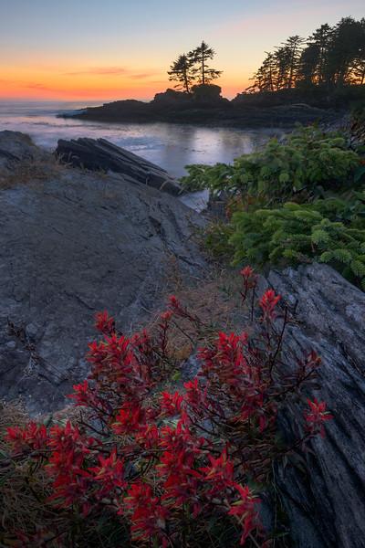 Indian Paintbrush Seaside - Botany Bay, Juan De Fuca Trail,  Vancouver Island, BC, Canada