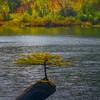 Bonsai Tree In Early Autumn - Fairy Lake, Vancouver Island, BC, Canada