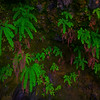 Ferns Hangin Inside The Sea Caves Mystic Beach, Juan De Fuca Trail,  Vancouver Island, BC, Canada