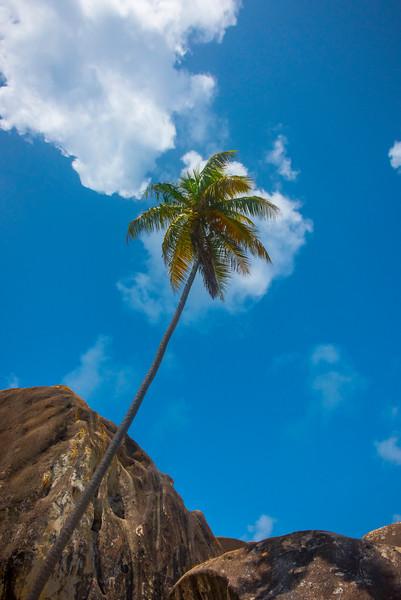 The Leaning Palm Tree - The Baths, Virgin Gorda, British Virgin Islands, Caribbean