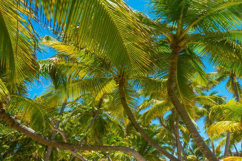 Sets Of Three Palm Trees - Salt Kay, Bahamas, Caribbean