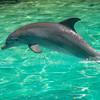 Dolphin_4 - Salt Kay, Bahamas, Caribbean