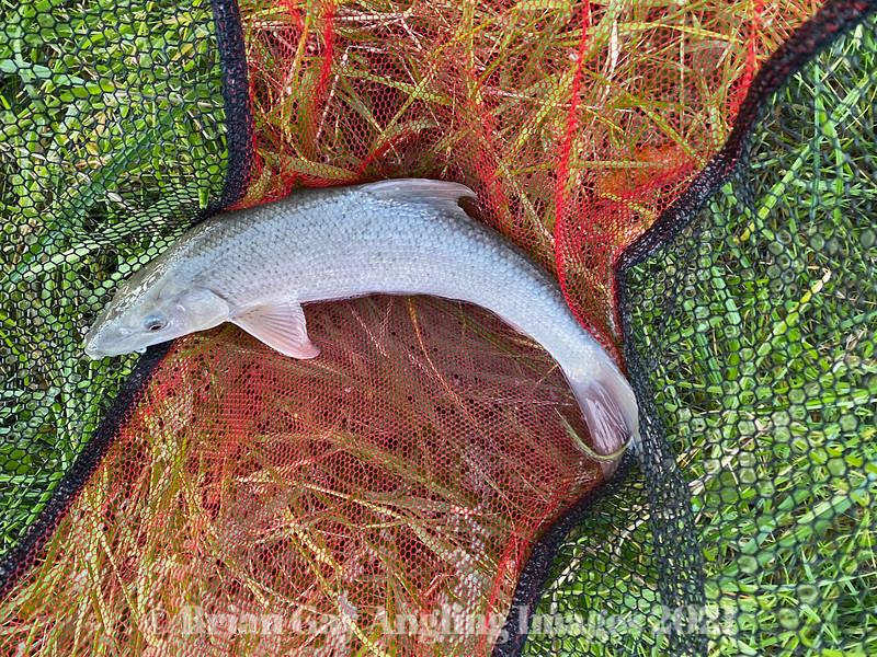 Small barbel in a landing net.