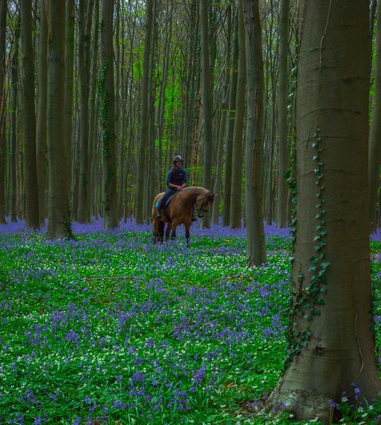 Hallerbos Forest_1