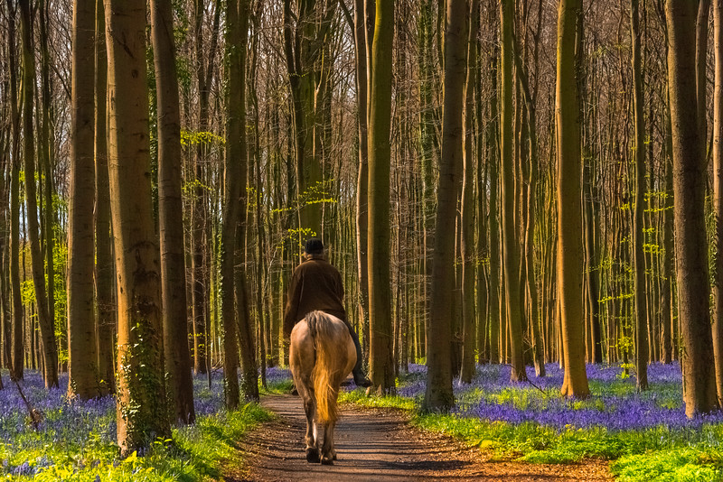 Horse Rider Entering Into The Bluebells