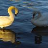 Oppsosing Colors On Swans