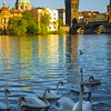 The Local Swan Hangout Below The Charles Bridge