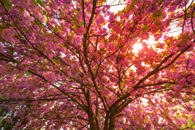 Sunburst Through The Cherry Trees