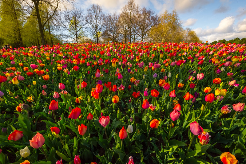 An Uphill Melody Of Color And Tulips
