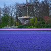 Purple Aglow And Windmill
