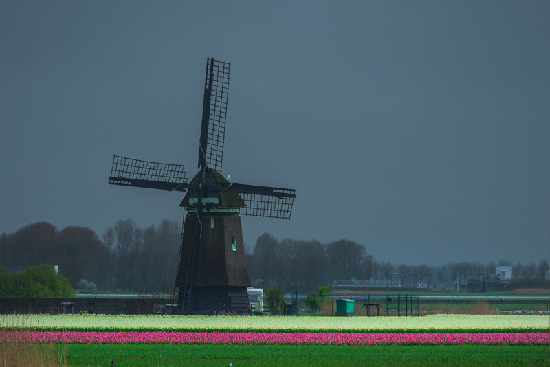Windmills And Tulips Fields Across River