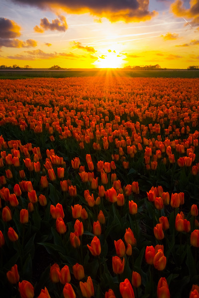 Sunset Showcases Emperor Tulips