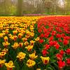 Flow And Ebb Of Tulips