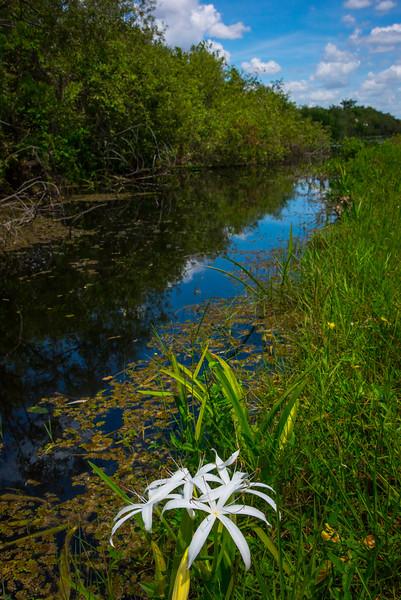 Swamp Lilies Along The Evergaldes Swamp - Everglades National Park, Florida