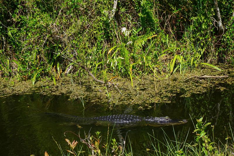 Alligators Swimming The Everglades - Everglades National Park, Florida