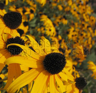 Black eye susan