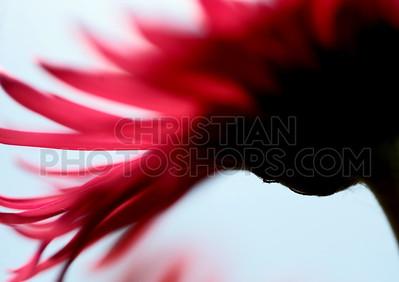 Red flower petals