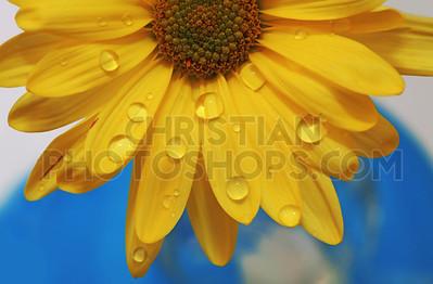 Water drops on daisy