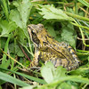 Common frog in among foliage
