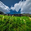 Meadow Fields Of Beargrass - Grinnell Glacier Trail, Many Glacier, Glacier National Park, Montana