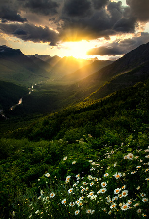 Daisies Below On Hillside - Going To The Sun Road, Glacier National Park, Montana