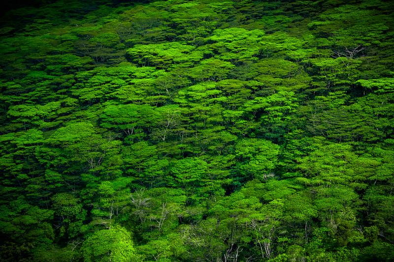 Above the Treeline Forest - Waimea Canyon, Kauai, Hawaii