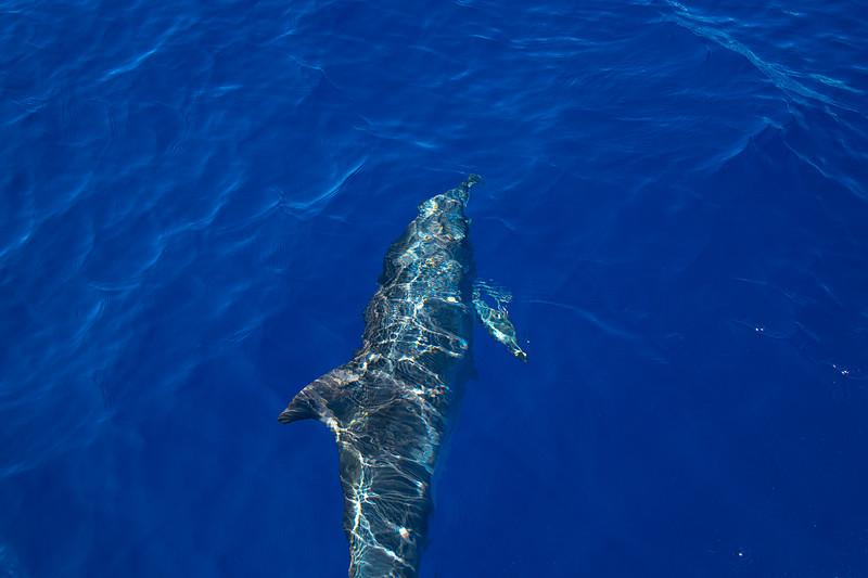 Bottlenose Dolphin In Front Of Boat - Na Pali Coastline, Kauai, Hawaii