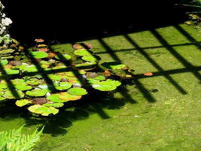 Lilly Pond in Japanese Tea Garden in Golden Gate Park, San Francisco