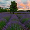 The Solo Tree- Pelindaba Lavender Farm, San Juan Islands, WA