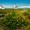 Yellow Lupine and Point Wilson Lighthouse - Point Wilson Lighthouse, Fort Worden State Park, WA
