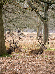 Wild Stags in Richmond Park, London