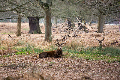A Wild Stag in Richmond Park, London