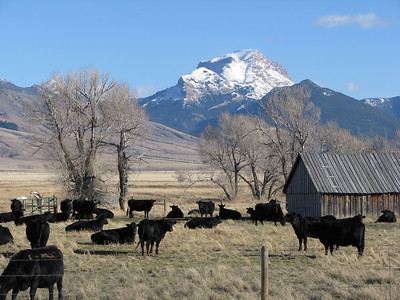 Cows in the pasture, Cameron, Montana
