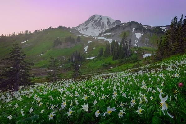 Mt Rainer And Avalanche Lilies Under Foggy Twilight Clouds - Paradise Meadows, Mount Rainier National Park, WA